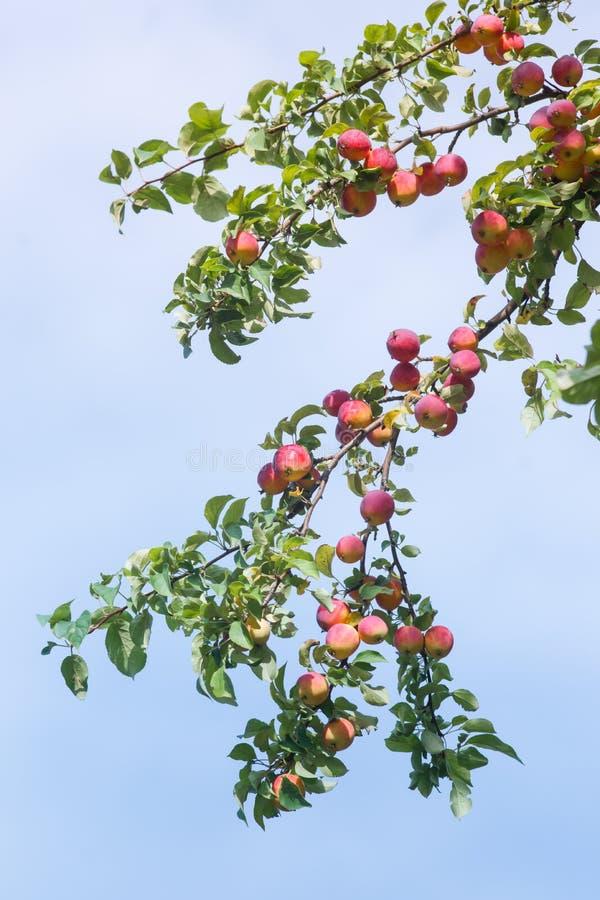 Manzanas rojas salvajes en una ramificaci?n fotos de archivo libres de regalías