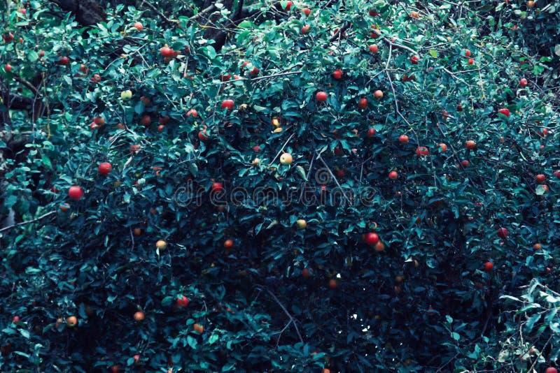 Manzanas rojas y hojas azulverdes en rama de árbol Manzano rojo en fondo azul Naturaleza de la agricultura floral imagen de archivo