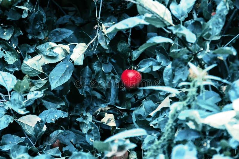 Manzanas rojas y hojas azulverdes en rama de árbol Manzano rojo en fondo azul Naturaleza de la agricultura floral fotografía de archivo libre de regalías
