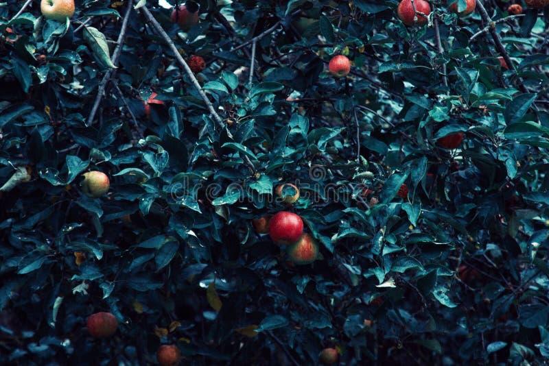Manzanas rojas y hojas azulverdes en rama de árbol Manzano rojo en fondo azul Naturaleza de la agricultura floral fotografía de archivo