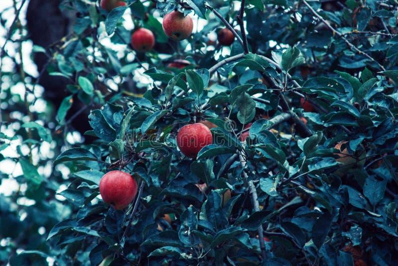 Manzanas rojas y hojas azulverdes en rama de árbol Manzano rojo en fondo azul Naturaleza de la agricultura floral imagenes de archivo