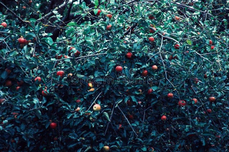 Manzanas rojas y hojas azulverdes en rama de árbol Manzano rojo en fondo azul Naturaleza de la agricultura floral foto de archivo libre de regalías