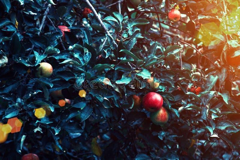 Manzanas rojas y hojas azulverdes en rama de árbol Manzano rojo en fondo azul Naturaleza de la agricultura floral fotos de archivo libres de regalías