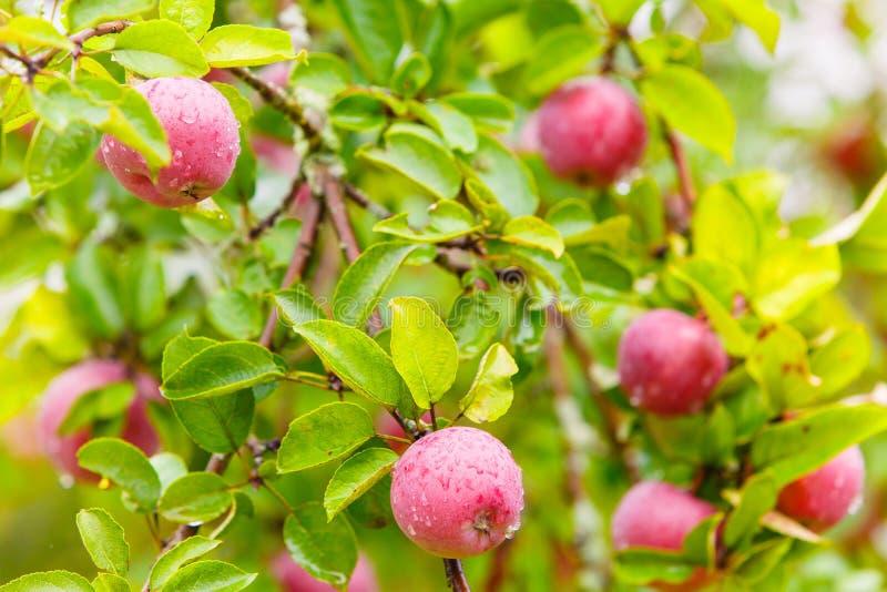 Manzanas rosadas cubiertas en descensos del agua imagenes de archivo