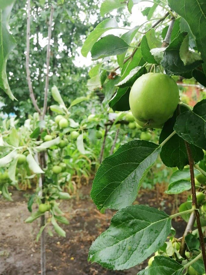 Manzanas verdes en el ?rbol foto de archivo libre de regalías