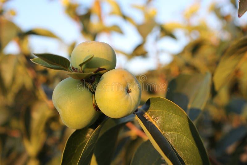 Manzanas verdes en rama en huerta Manzanas verdes en defocused listo de la rama que se cosechará, al aire libre, Rama con tres foto de archivo libre de regalías