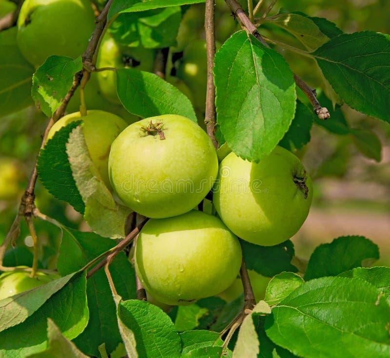 Manzanas verdes en una ramificación fotos de archivo libres de regalías
