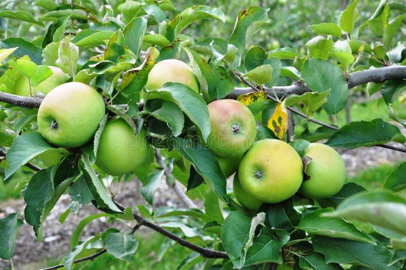 Manzanas verdes maduras fotografía de archivo