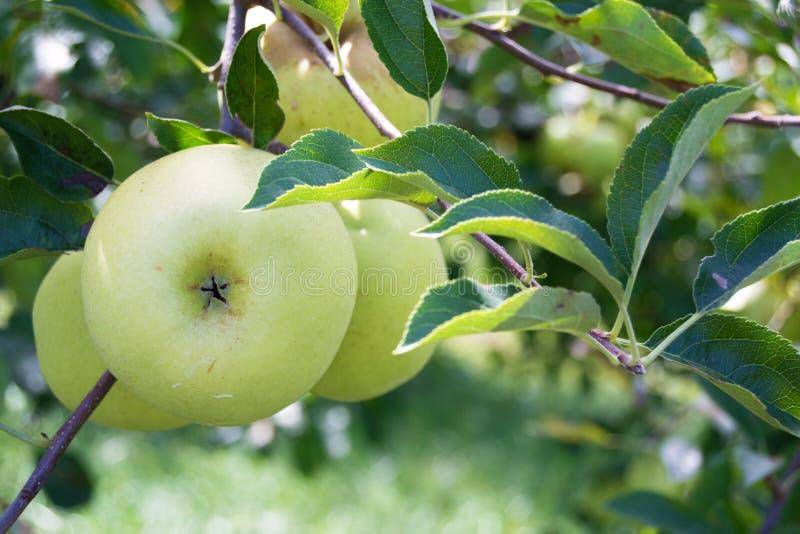 Download Manzanas Verdes Que Crecen En Un Manzano Imagen de archivo - Imagen de agricultura, verde: 44857891