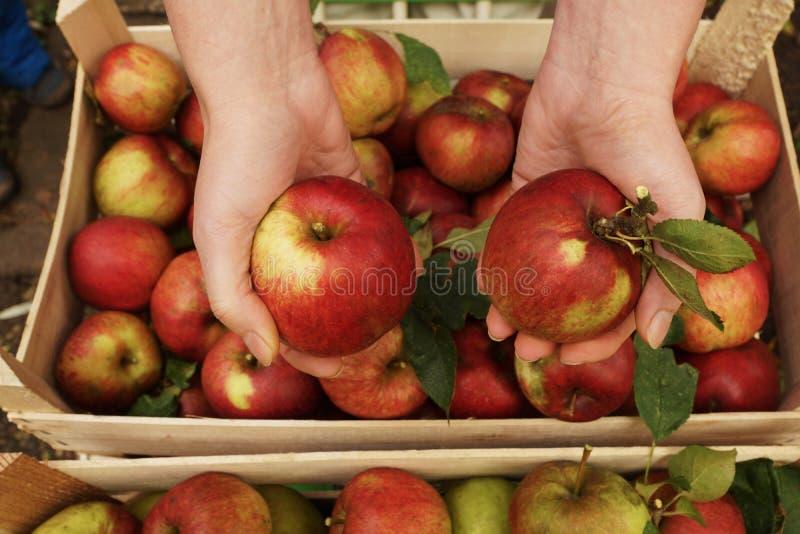 Manzanas y manos orgánicas frescas fotos de archivo libres de regalías