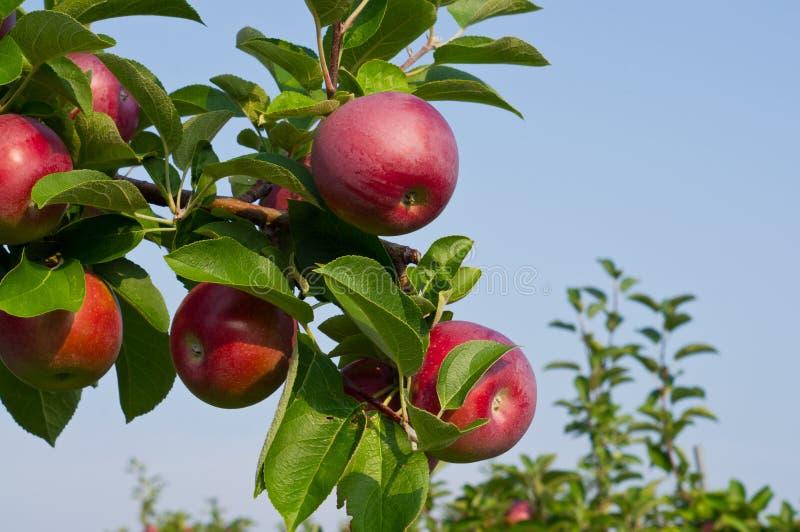 Manzanas y manzanos imagenes de archivo