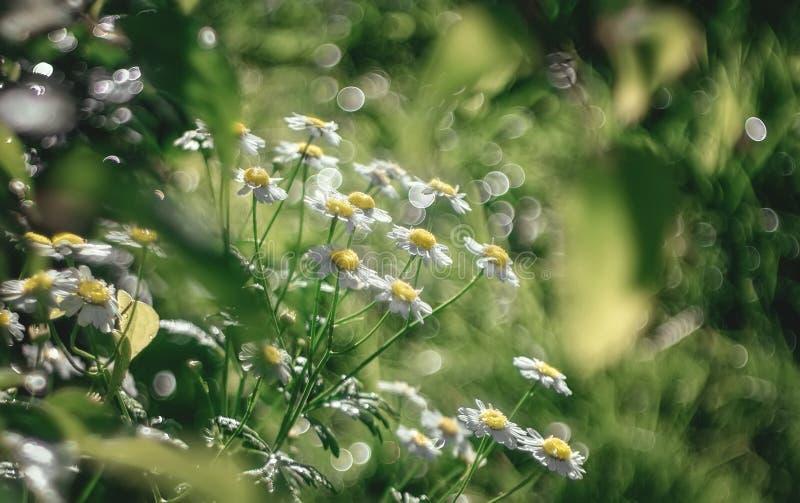 Manzanilla alemana en un fondo oscuro Parecer un ramo de flores que tienen pequeñas flores externas con los pétalos blancos grand foto de archivo