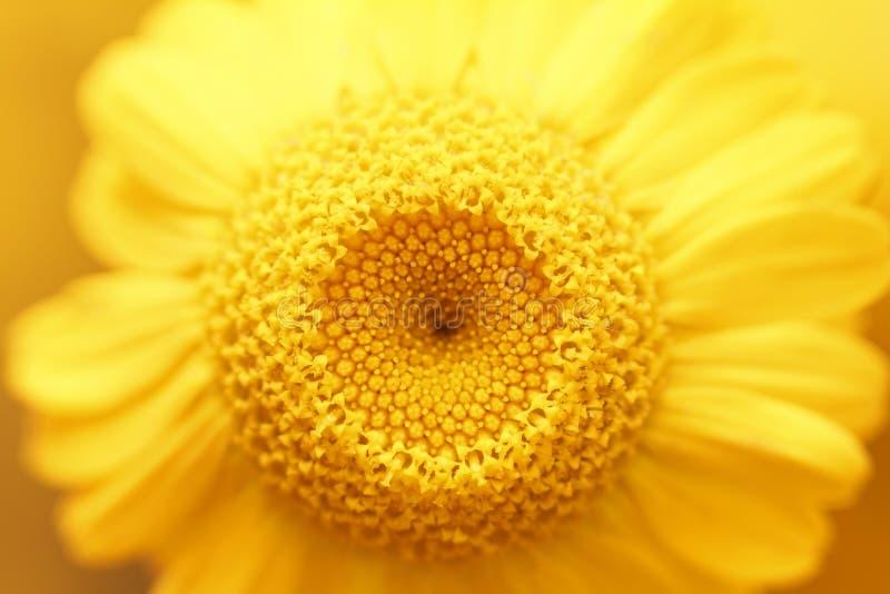 Manzanilla amarilla natural hermosa en macro Visión superior imagen de archivo