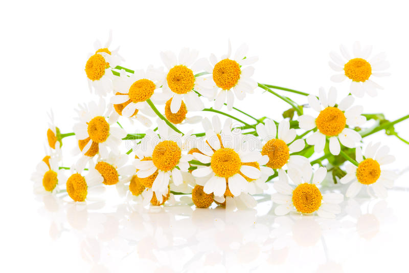 Manzanilla de la flor foto de archivo