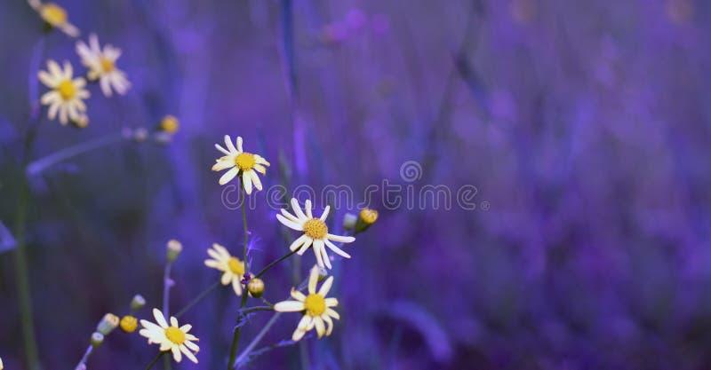 Manzanilla en el campo Hierba floreciente del prado salvaje del campo en la naturaleza en el viento fotografía de archivo libre de regalías
