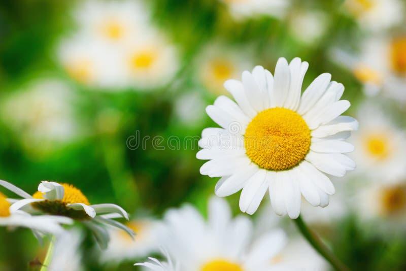 Manzanilla entre las flores imágenes de archivo libres de regalías