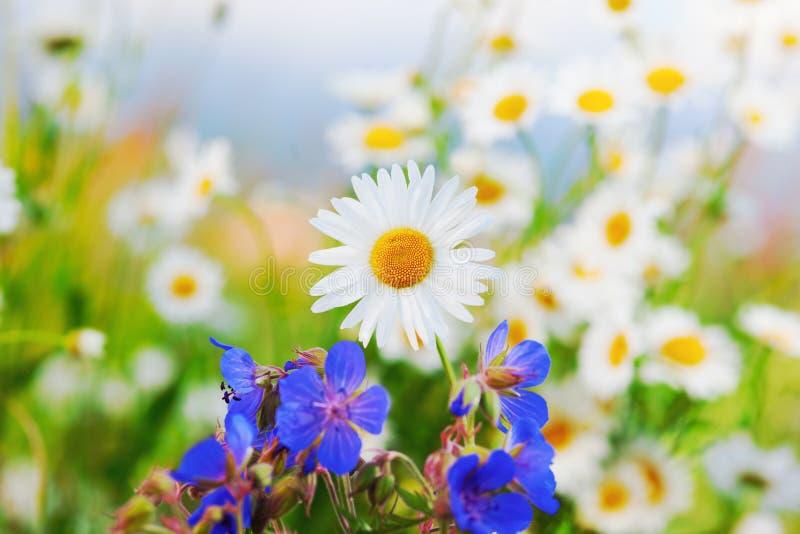 Manzanilla entre las flores imagen de archivo