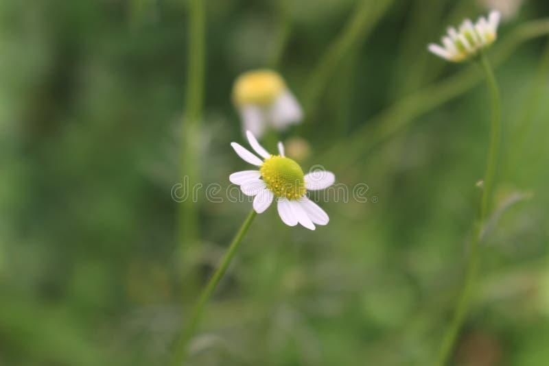 Manzanilla, flor da camomila imagens de stock royalty free