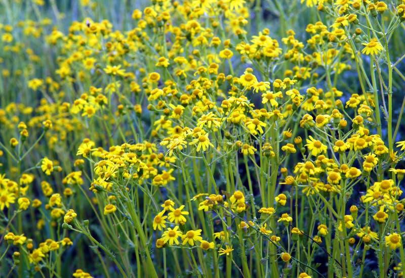 Manzanilla salvaje amarilla hermosa fotografía de archivo