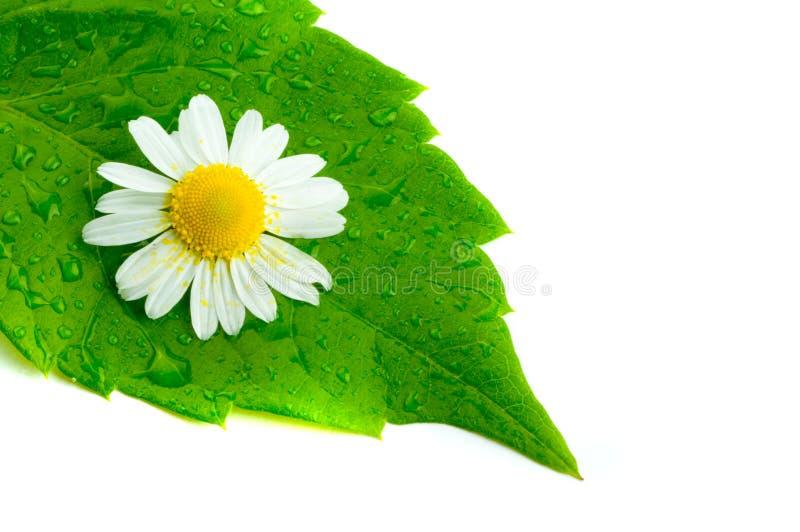 Manzanilla y hojas. imagenes de archivo