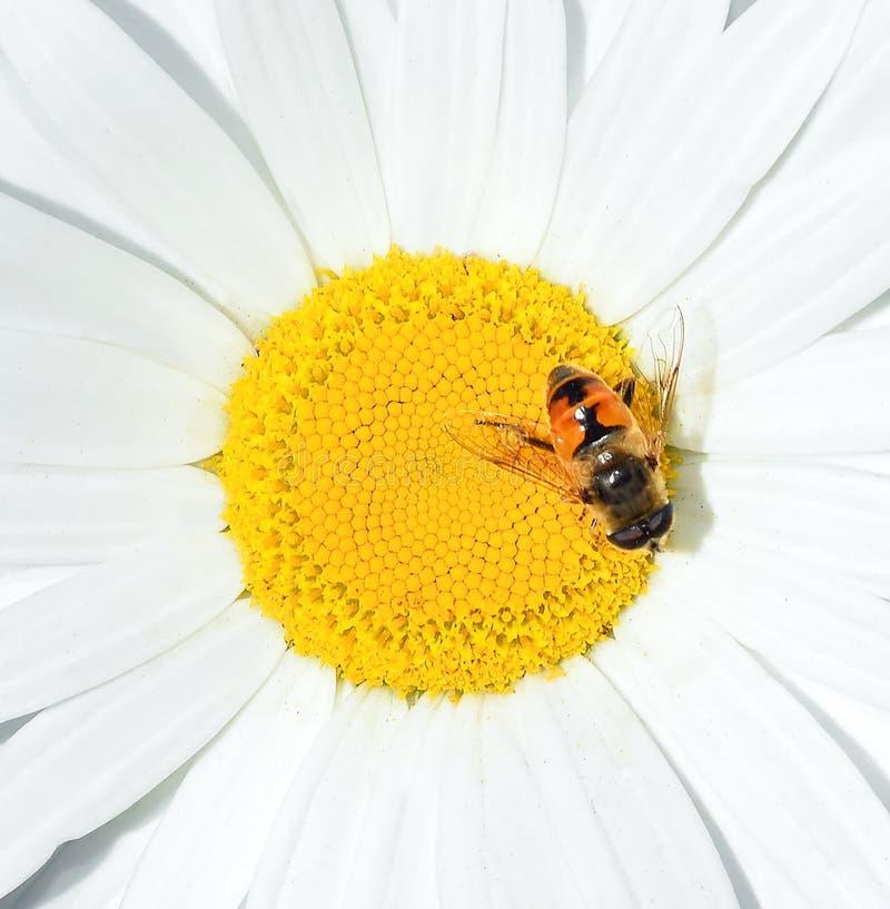 Manzanilla y un cierre de la abeja para arriba Cabeza de flor de la manzanilla Fondo floral del verano fotos de archivo