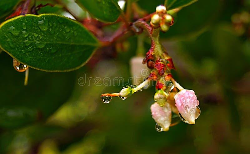 Manzanita i blom royaltyfri foto