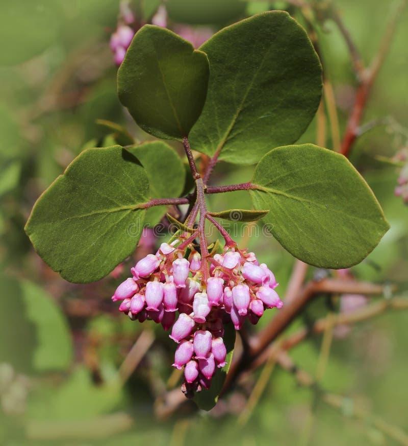 Manzanita kwiat obrazy stock