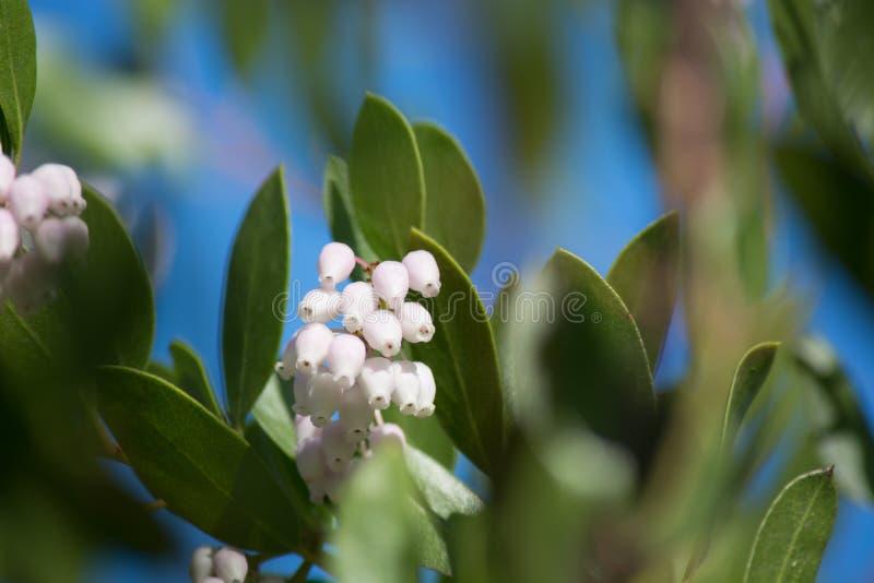 Manzanita kwiaty zdjęcie royalty free