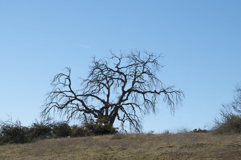 Download Manzanita Tree Winter Scene Stock Photo - Image of california, scene: 100376116