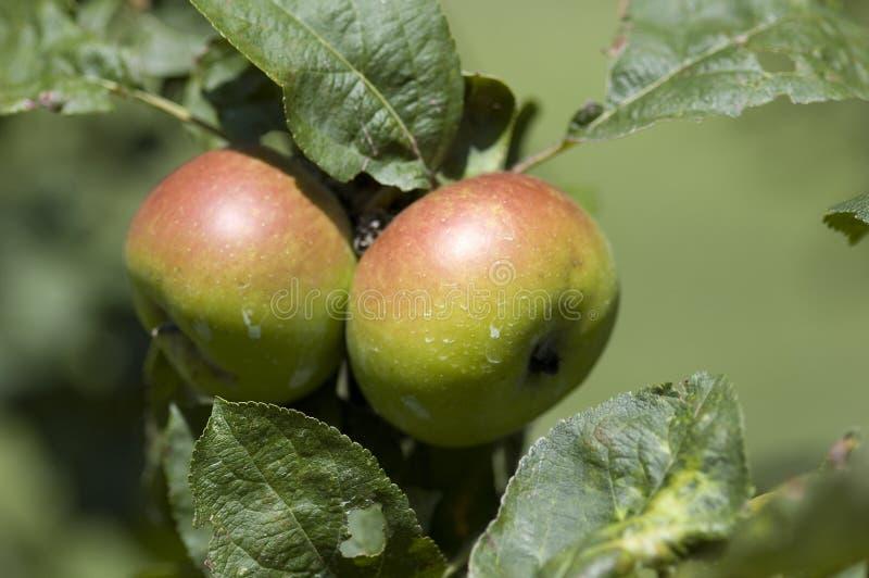 Download Manzano imagen de archivo. Imagen de árbol, manzana, hierba - 7286609