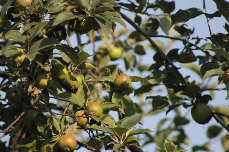 Manzano con las manzanas verdes naturales en jardín del pueblo foto de archivo
