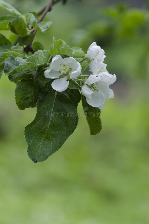 Manzano de Ð'looming Las flores se cierran para arriba Foco selectivo foto de archivo libre de regalías