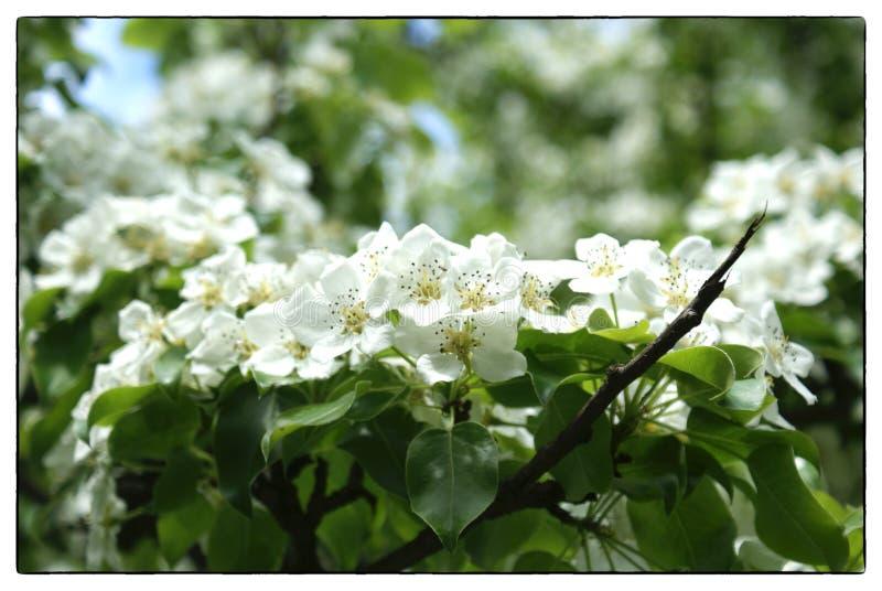 Manzano de la rama, punteado grueso con las flores blancas, primavera imágenes de archivo libres de regalías