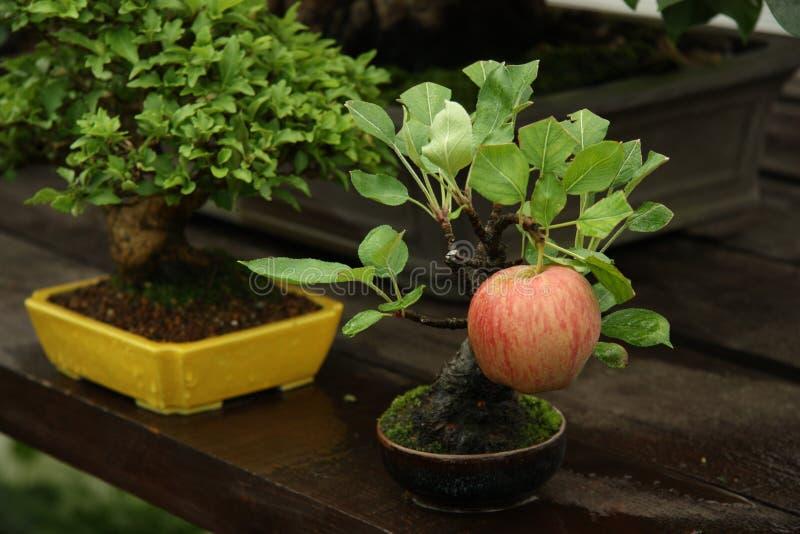 Manzano de los bonsais en un jardín fotografía de archivo