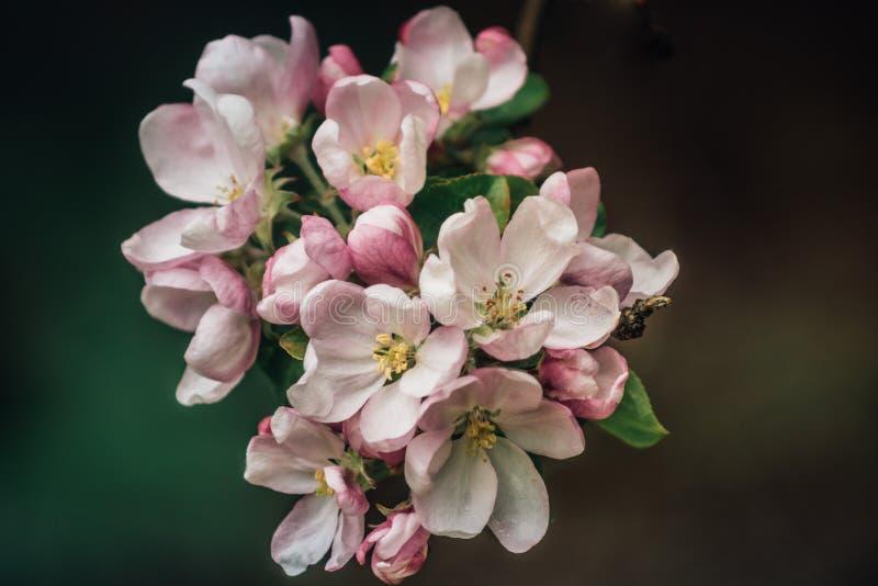 Manzano En la floración imágenes de archivo libres de regalías