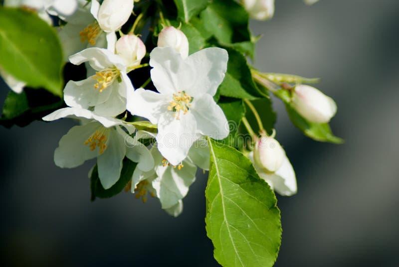 Manzano en la floración - estación de primavera fotos de archivo
