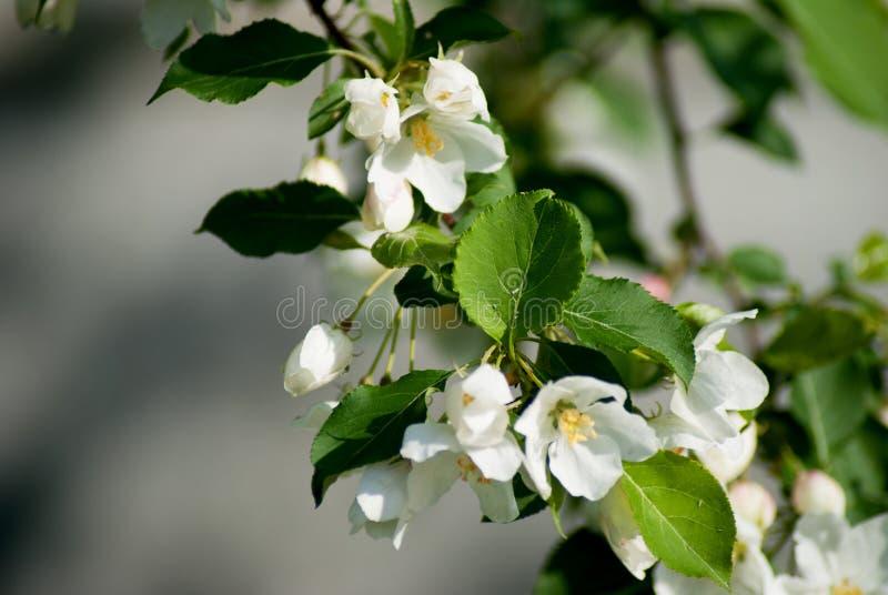 Manzano en la floración - estación de primavera imagenes de archivo