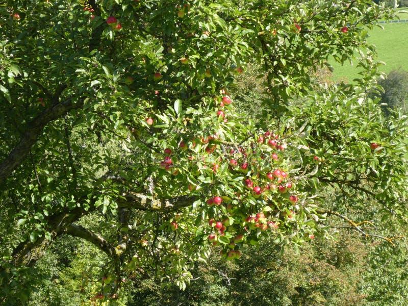 Manzano en las montañas de Italia con las manzanas rojas imagenes de archivo