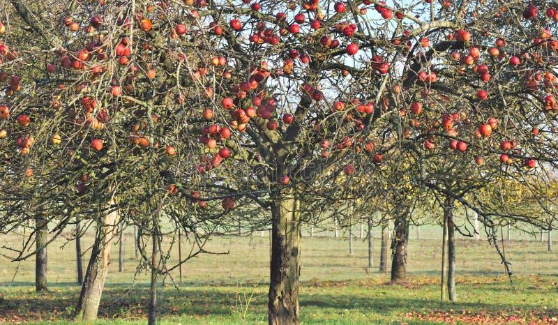 Manzano En otoño fotos de archivo