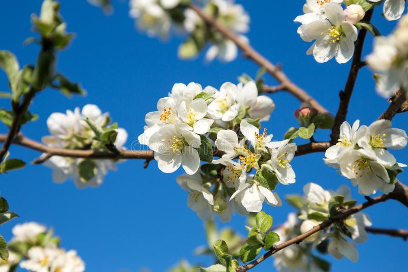 Manzano floreciente en blanco fotografía de archivo libre de regalías