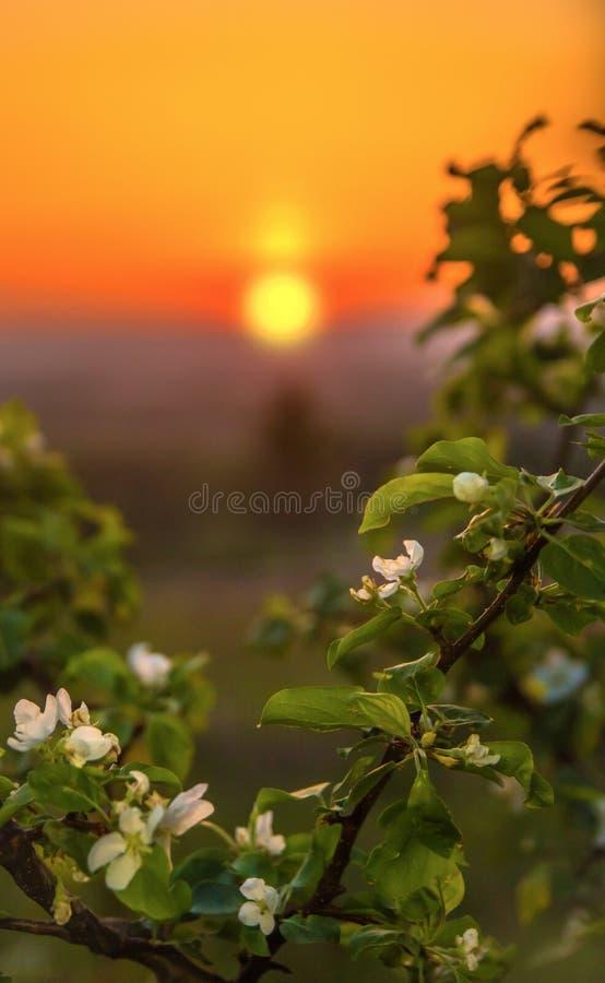 Manzano floreciente en la salida del sol imagen de archivo