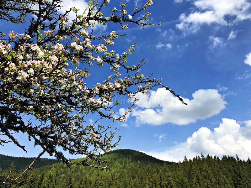 Manzano floreciente en las montañas cárpatas imagenes de archivo