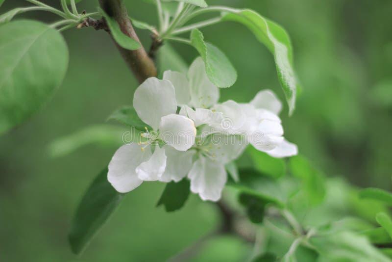 Manzano floreciente en primavera foto de archivo libre de regalías