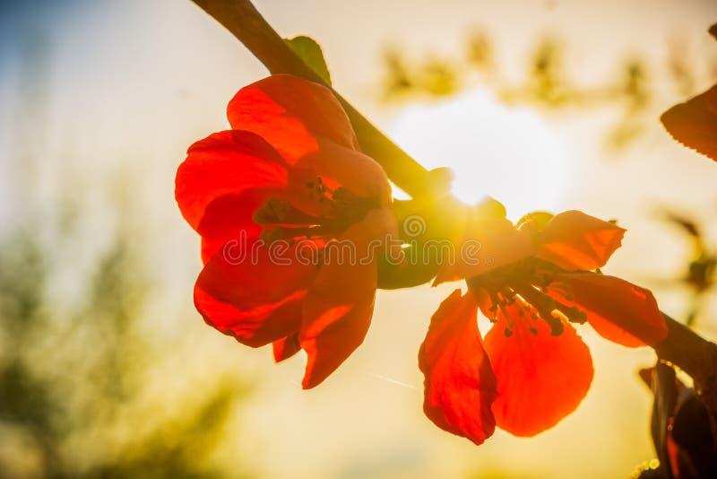 Manzano japonés hermoso, floribunda del malus, flor roja imagen de archivo