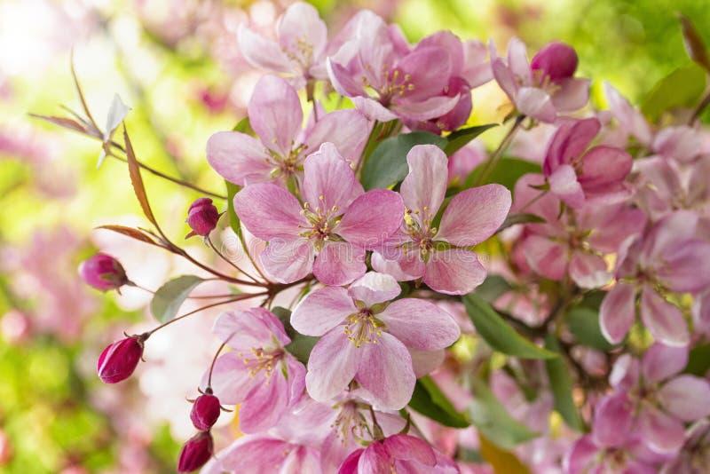 Manzano rosado floreciente de la flor del cangrejo, brote de flor del primer, papel pintado horizontal del fondo imagen de archivo libre de regalías