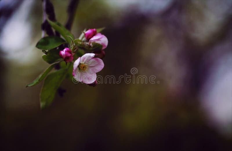 Manzanos en la floración de la creación de la primavera imagenes de archivo