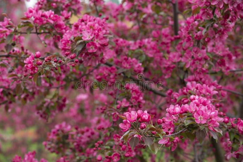 Manzanos florecientes 02 fotografía de archivo libre de regalías