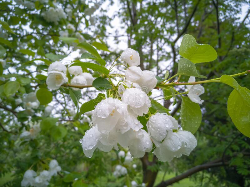 Manzanos florecientes del blanco fotografía de archivo