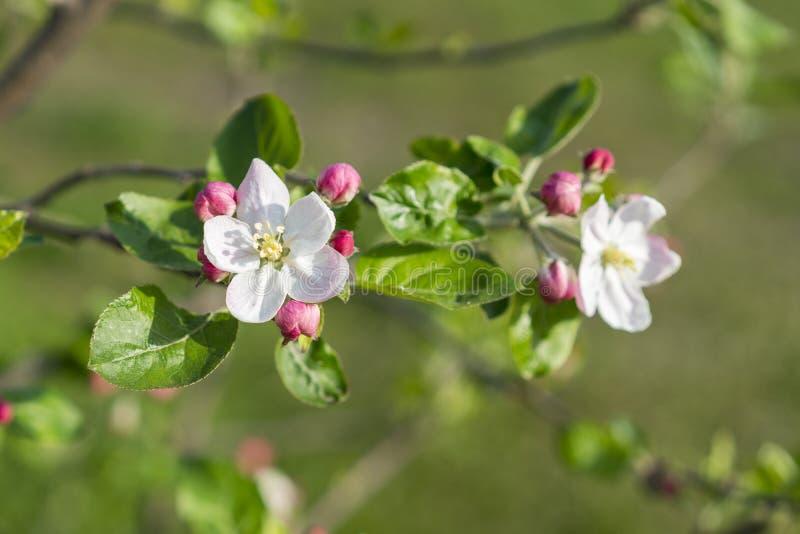 Manzanos florecientes hermosos en cierre del parque de la primavera para arriba Las floraciones del manzano Apenas llovido encend imágenes de archivo libres de regalías