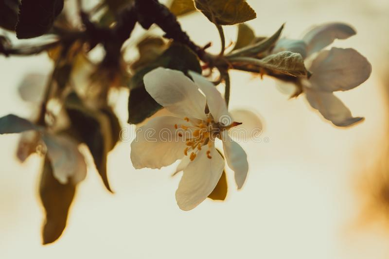 Manzanos florecientes hermosos en primavera en un d?a soleado foto de archivo